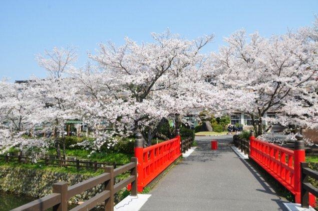 【桜・見ごろ】鹿野城跡公園