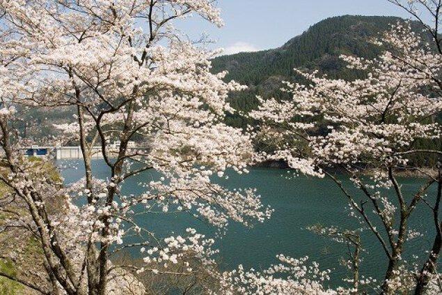 【桜・見ごろ】蜂の巣湖公園
