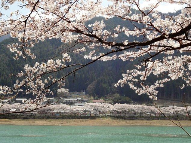 【桜・見ごろ】八坂湖畔