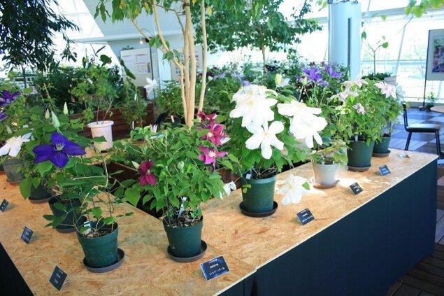 花と緑の展示~クレマチス展~