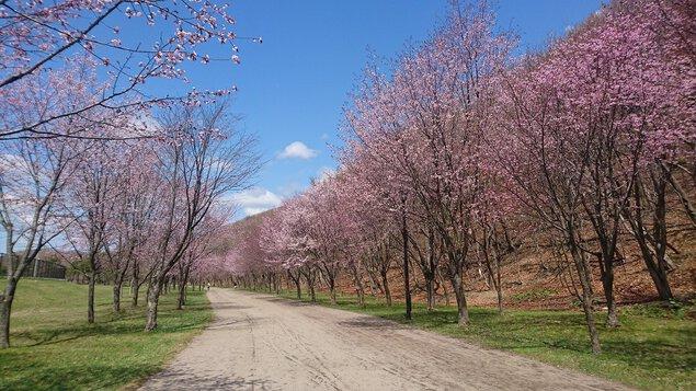 苫小牧市緑ヶ丘公園の桜