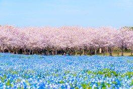 サクラとネモフィラの、ピンクと青のコラボレーションは絶景
