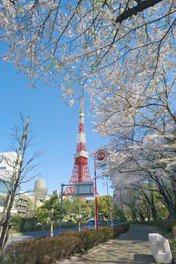 都立芝公園の桜
