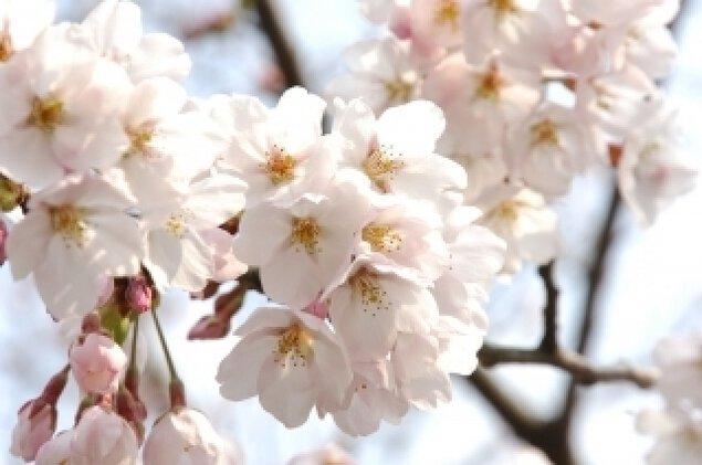 【桜・見ごろ】遠島山公園