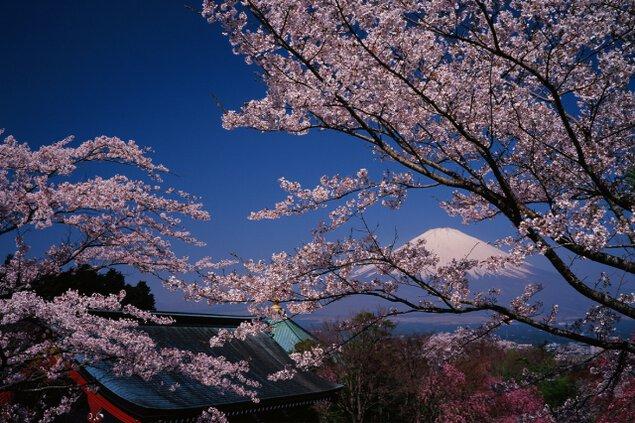 【桜・見ごろ】平和公園