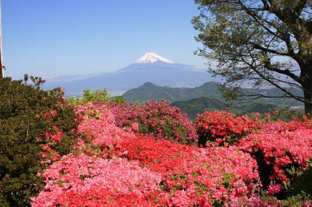 【花・見ごろ】伊豆の国パノラマパーク つつじ