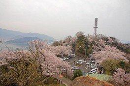 【桜・見ごろ】黄金山緑地