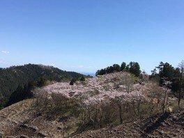 高尾山 一丁平の千本桜