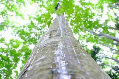 雨でも楽しめる! のんびりブナ林ハイキング