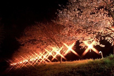 辰ノ口親水公園の桜