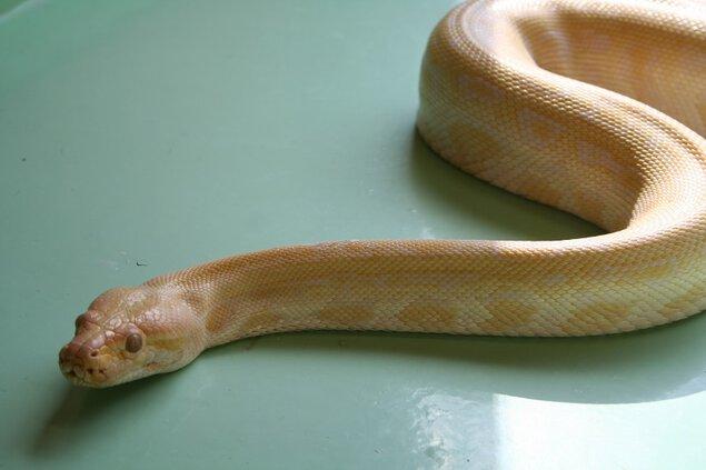 ビルマニシキヘビとのアニマルフォト