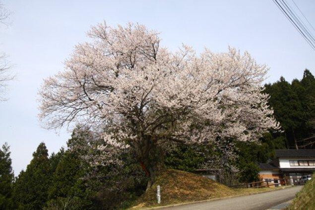 【桜・見ごろ】天狗平の御所桜