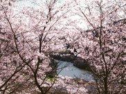 【桜・見ごろ】今富ダム公園