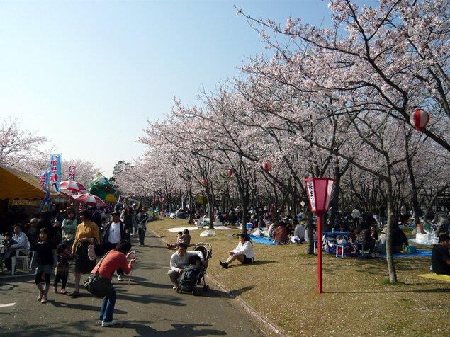 【桜・見ごろ】神之池緑地公園