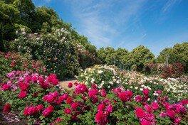 なばなの里 秋のバラ 「バラ園」