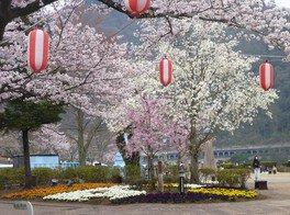 相模湖湖畔の桜