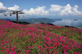 びわこ箱館山のペチュニア・コキア
