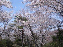 大宮自然公園の桜