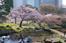 小石川後楽園の桜【臨時休園】