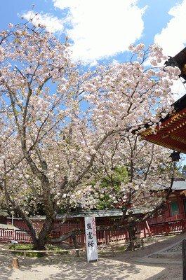 【一部施設休館】志波彦神社 鹽竈神社の桜
