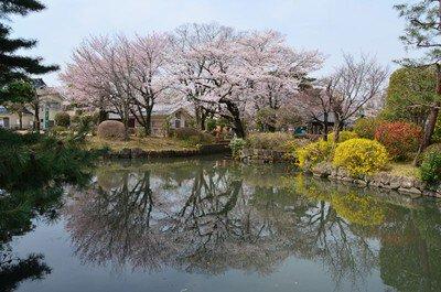 狭山池公園(東京都)の桜