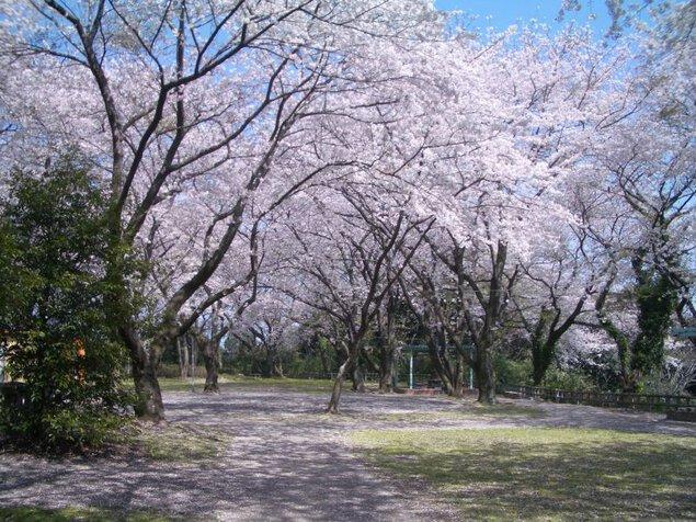 御津山園地の桜