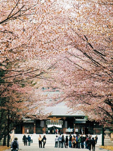 【桜・見ごろ】北海道神宮