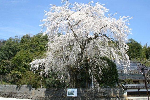 【桜・見ごろ】長瀬の大しだれ桜