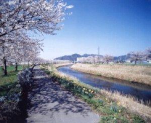 【桜・見ごろ】きらめきロード中河