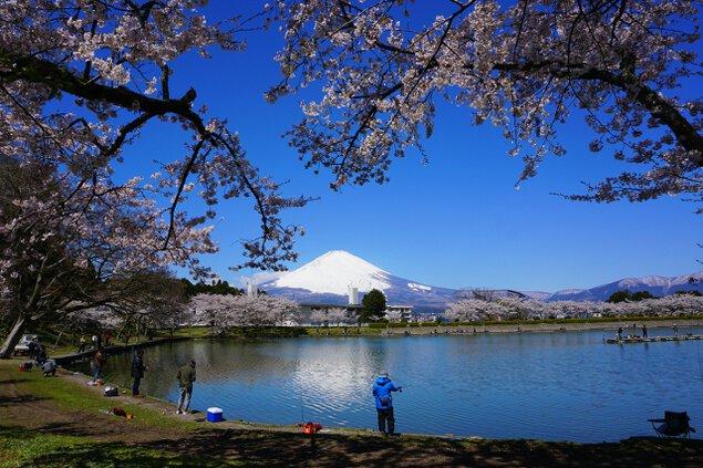 【桜・見ごろ】東山湖