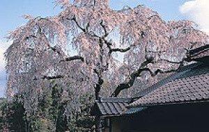 【桜・見ごろ】福山・福泉坊のしだれ桜