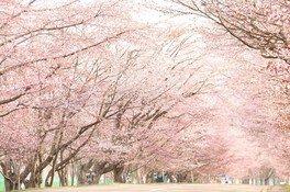 優駿さくらロード(西舎桜並木)の桜