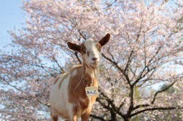 成田ゆめ牧場の桜