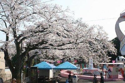 かみね公園の桜