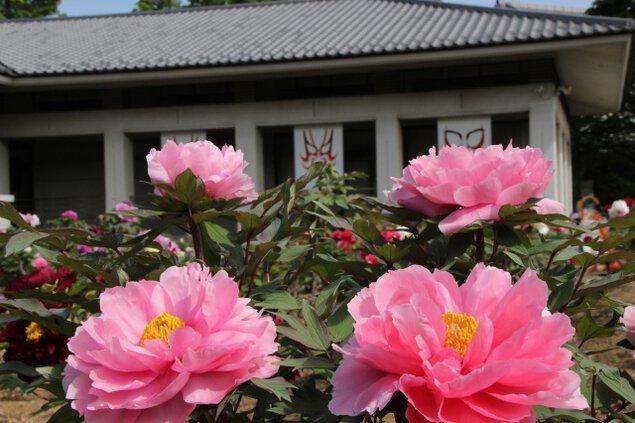 市川三郷町ふるさと春まつり 第22回「ぼたんの花まつり」
