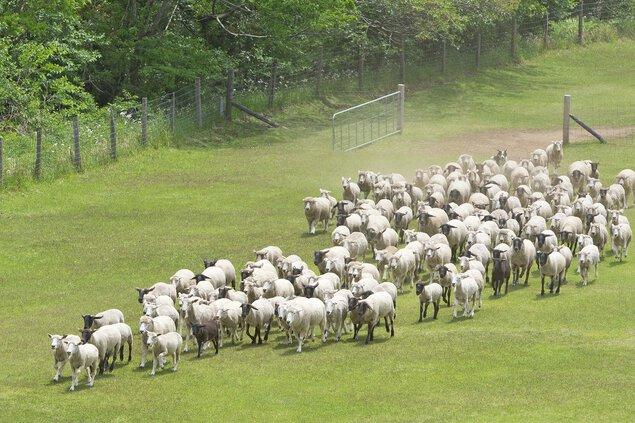 150頭の羊で作る新元号「令和」