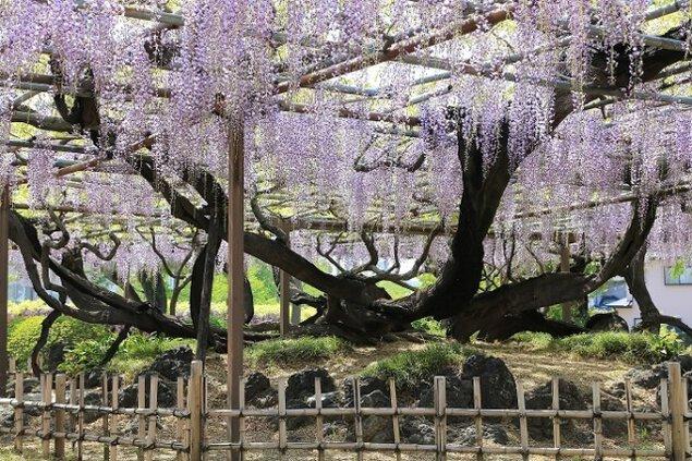 【花・見ごろ】須賀の園 藤棚