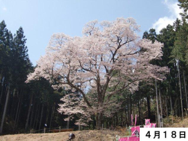 【桜・見ごろ】嶽見桜