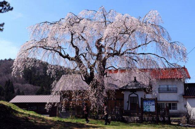 【桜・見ごろ】地久院のしだれ桜