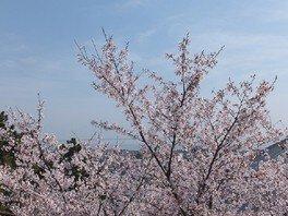 人丸山公園の桜