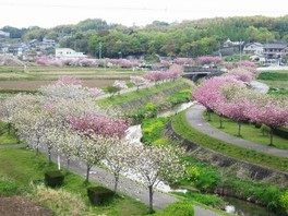 於大のみちの桜