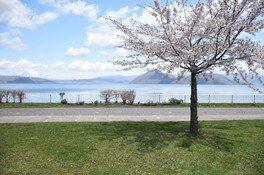 洞爺湖畔の桜