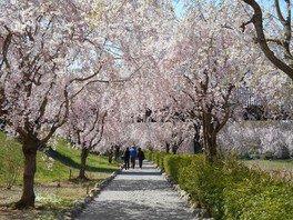 常陸風土記の丘の桜