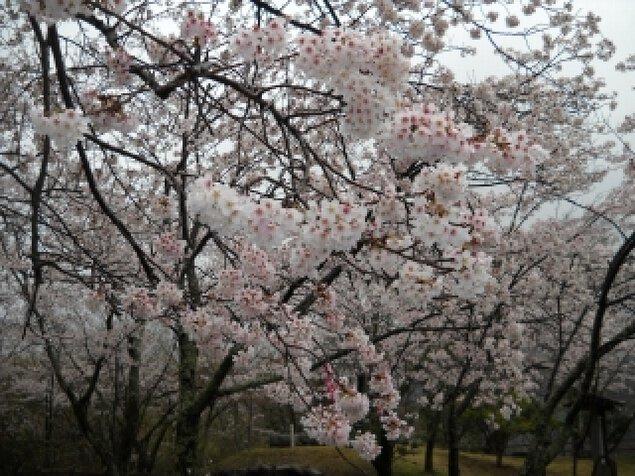 【桜・見ごろ】源氏山公園