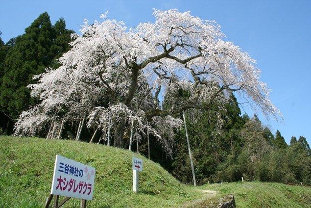 【桜・見ごろ】三谷神社の大しだれ桜