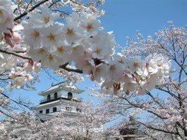 白石城本丸広場の桜