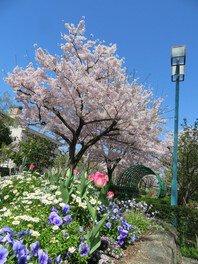 上ケ池公園の桜