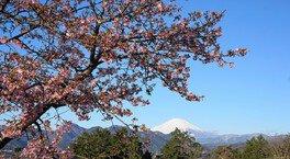 松田山ハーブガーデンの桜