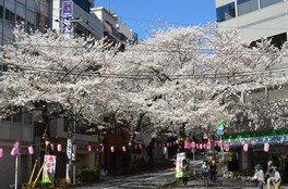 南大塚三丁目桜並木通りの桜