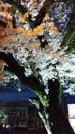 2020「なばり嬉来て桜(うれきてざくら)」<中止となりました>